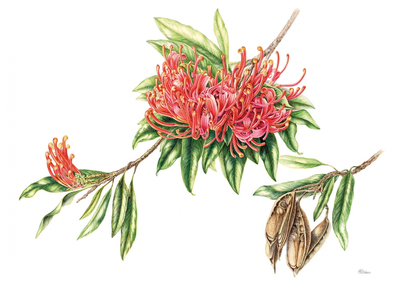 Alloxylon flammeum (Tree Waratah) by Sue Wickison.