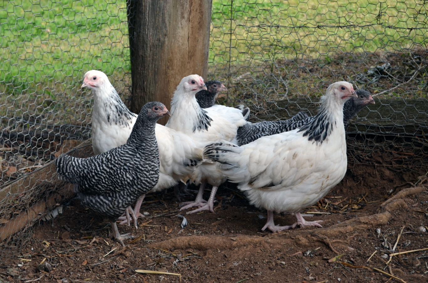 Group of chickens.