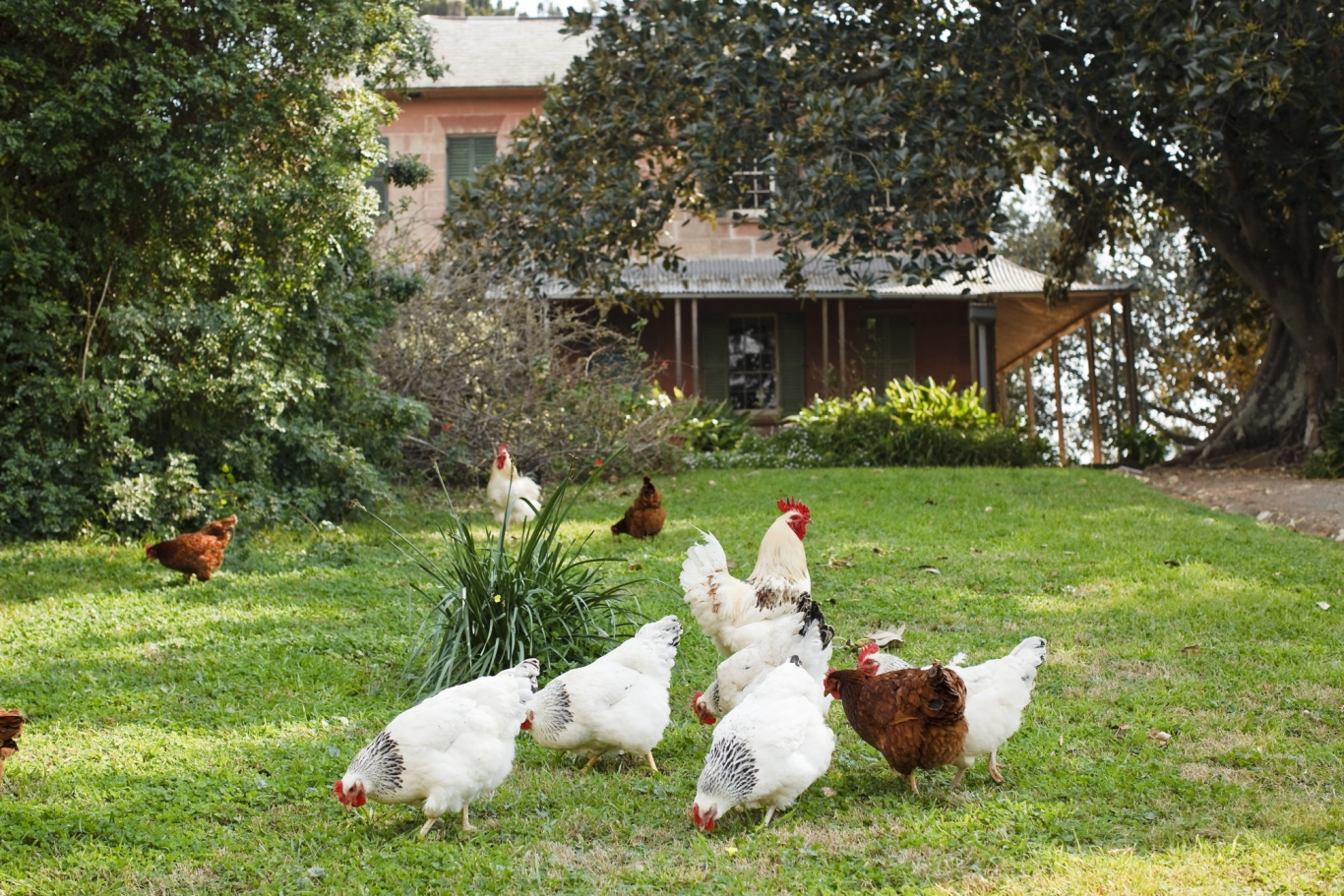 Outside view of the Main House at Rouse Hill House and Farm. Group of chickens in the garden