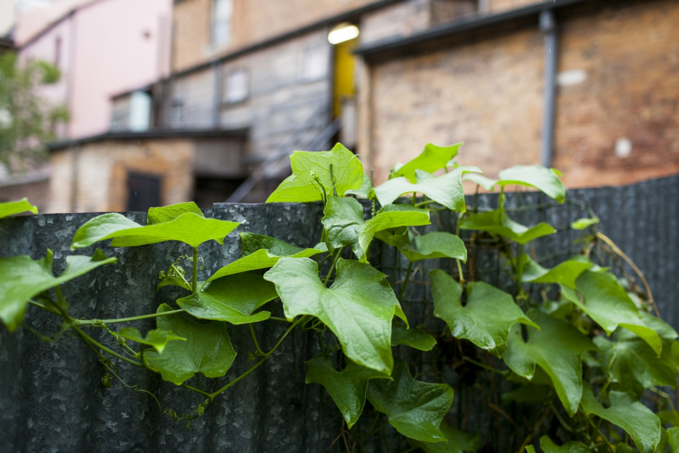 Detail of choko vine on wooden fence, houses in background.