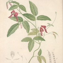 painting of a Dusky Coral Pea, Kennedia rubicunda