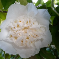 Close-up of a white waratah camellia