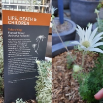 signage talking about the flannel flower at the Museum of Sydney and its aboriginal meaning next to an image of a white flannel flower.