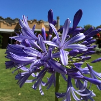 Agapanthus flower against Vaucluse House