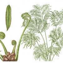 Botanical illustration of Angiopterus evecta