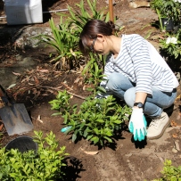 SLM staff member Christy planting a new azalea at Rose Seidler House