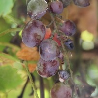 Photograph of dark coloured grapes on a green background.