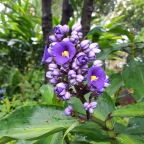 Photograph of blue ginger (Dichorisandra thyrsiflora) growing in the garden at Elizabeth Farm.