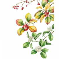 Botanical illustration of Crataegus persimilis 'Prunifolia'