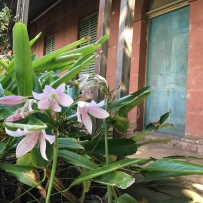 The bloom of the natal lily at Rouse Hill House and Farm