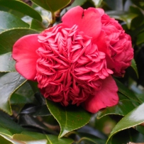 Photograph of a red waratah camellia