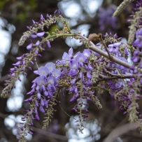 wisteria sinensis in bloom on the tank stand at Rouse Hill House and Farm