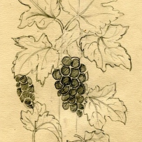 This is an image of a pencil sketch of vine leaves and grapes