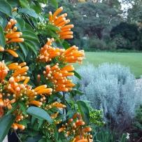 Photograph of flame vine (Pyrostegia venusta) in the gardens at Vaucluse House