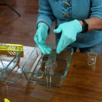 Pair of blue gloved hands working with glass plates.