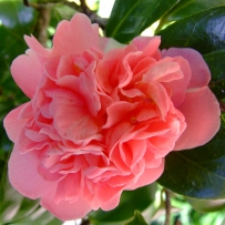Photograph of a pink camellia