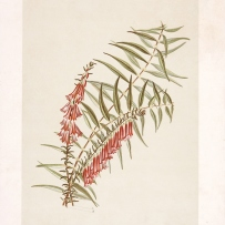 Print from book of red wildflowers.