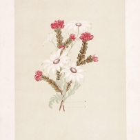Print from book of white and pink wildflowers.