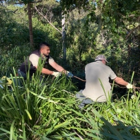 Two men pull a large vine from the Bush at Vaucluse House