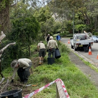 Sydney Living Museums staff work together in the bush to remove unwanted weed species. the team load waste into buckets then onto the Ute parked on the street to the right.