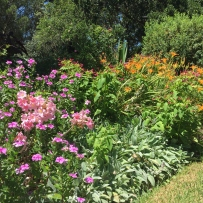 View of the Eastern Garden at Elizabeth Farm with the pink Belladonna lilies scattered throughout