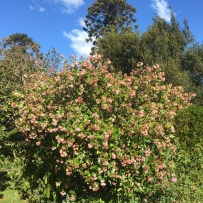 rondoletia in full bloom at Elizabeth Farm