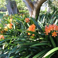 Photograph of orange Clivia miniata in the gardens at Vaucluse House