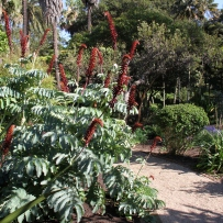 Photograph of the giant honey flower (Melianthus major) growing in the gardens at Vaucluse House.