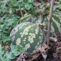 Photograph of a large green melon on a dark green background