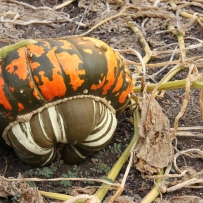 Photograph of an orange and green pumpkin on a dark background