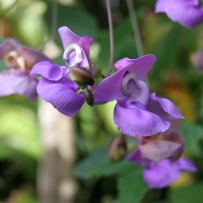 Photograph of snail vine (Vigna caracalla) with purple flowers growing in the gardens at Vaucluse House