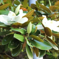 Large white bloom of the Bull Bay Magnolia (Magnolia grandiflora) at Vaucluse House