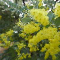 bright yellow blooms of the Queensland silver wattle at Vaucluse House