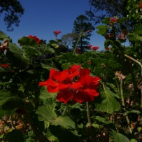 Red Pelargonium sp. in bloom at Rouse Hill house and Farm