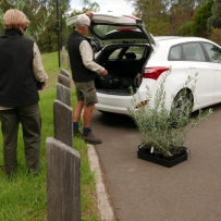 loading our new olives into the car to head back to Elizabeth Farm