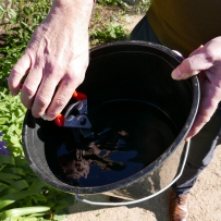 Ian dips his secateurs in a bleach solution before pruning to sterilise them.