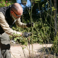 Horticulturist Tristan prunes on of the roses at Vaucluse House