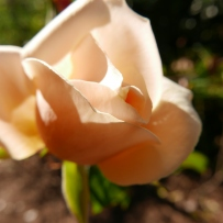 An apricot rose found at Vaucluse House.
