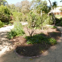 The Vaucluse House Rose bed almost a month after the roses were pruned