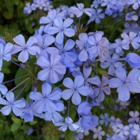 Plumbago (Plumbago capensis) in flower at Vaucluse House