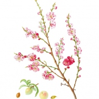 Botanical illustration of Prunus persica 'Versicolor'