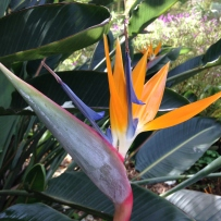 Photograph of the blue and orange Bird of paradise (Strelitzia reginae) growing in the gardens at Vaucluse House