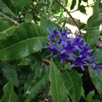 Photograph of the dark blue flowers of sandpaper vine (Petrea volubilis) in the gardens at Vaucluse House