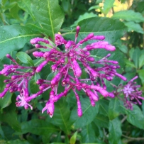 Photograph of the bright purple flowers of tree fuchsia (Fuchsia aborescens) in the gardens at Vaucluse House.