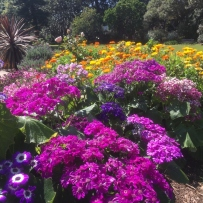 Winter annuals Cineraria and Calendula are still flowering into early spring at Vaucluse House