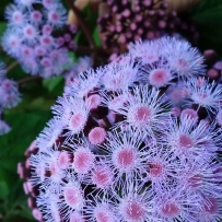 Photograph of the blue mist flower in the gardens at Vaucluse House