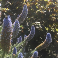 The Pride of Madeira in the pleasure at Vaucluse House shows of its blue flower spikes
