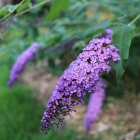 Photograph of the butterfly bush in the gardens at Vaucluse House.