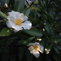 Photograph of gordonia/fried egg plant flowers in the garden at Vaucluse House.
