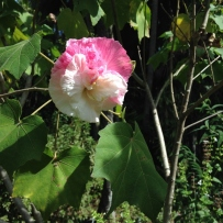 Photograph of a confederate rose growing in the gardens at Vaucluse House